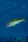 Yellowfin goatfish Royalty Free Stock Image