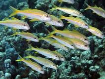 Yellowfin goatfish Royalty Free Stock Photo