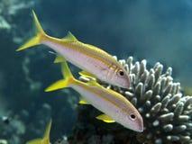 Yellowfin goatfish Stock Image