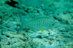 Yellowfin Mojarra Royalty Free Stock Photos