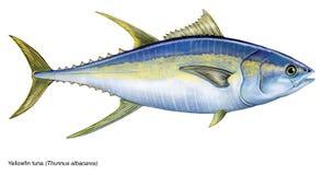 Free Yellowfin Tuna Stock Images - 74272804