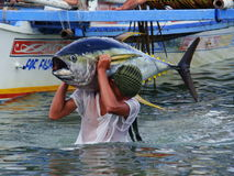Yellowfin tuna artisanal fishery in Philippines#27. The picture shows yellowfin tuna Thunnus albacares freshly landed by the artisanal fishermen in Mindoro Royalty Free Stock Images