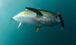 Yellowfin tuna fish caught in ocean with blue lure in its mouth. Yellowfin tuna fish in ocean with blue lure in its mouth Stock Images