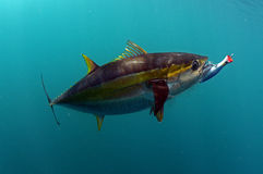 Yellowfin tuna fish with a lure in its mouth Royalty Free Stock Image