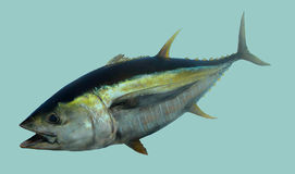 Yellowfin Tuna fish portrait Stock Photos