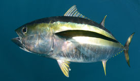 Yellowfin tuna fish underwater in ocean Stock Photo