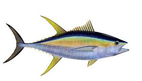 yellowfin tuna thunnus albacares a yellowfin tuna illustration by steven russell smith isolated