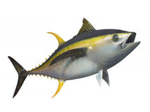 Yellowfin tuna, isolated. Yellowfin tuna in fast swimming motion, isolated Stock Images