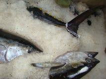Yellowfin tuna Thunnus albacares freshly landed by the artisanal fishermen in Mindoro, Philippines. Artisanal Filipino fishermen use a variety of fishing gears Stock Image