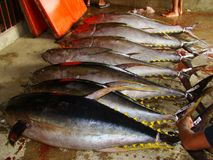 Yellowfin tuna Thunnus albacares freshly landed by the artisanal fishermen in Mindoro, Philippines. Artisanal Filipino fishermen use a variety of fishing gears Stock Photo