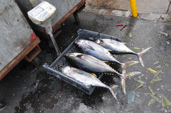 Yellowfin tuna. A view of many freshly caught tuna Stock Images