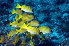 Yellowfingoatfish Arkivfoto