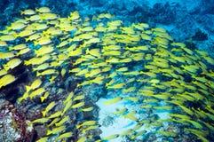 Yellowfingoatfish Arkivbilder