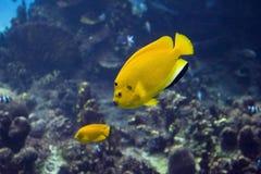 yellowfish Στοκ εικόνες με δικαίωμα ελεύθερης χρήσης