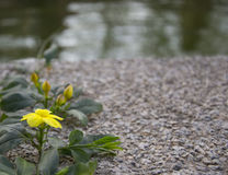 Yellowflower. Yellow flower with green leaves on sand and stones Royalty Free Stock Image