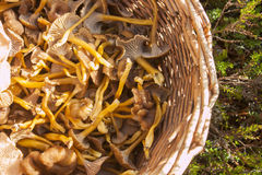 Yellowfoot basket. A wicker basket full of yellowfoot, in the forrest Stock Images