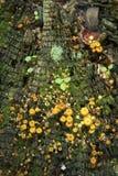 Yellowfoot chanterelle mushrooms on tree stump, Vernon, Connecti Stock Photo
