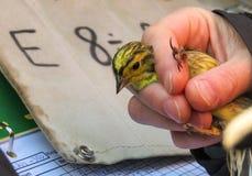 Yellowhammer, Emberiza citrinella,鸟在鸟条带的一只妇女手上 库存图片