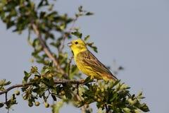 Yellowhammer, Emberiza citrinella 免版税库存图片