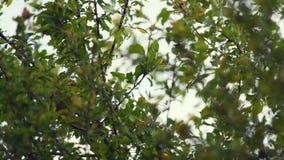 Yellowhammer śpiew na drzewie i obsiadanie zdjęcie wideo
