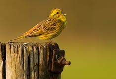 yellowhammer полюса Стоковые Изображения RF