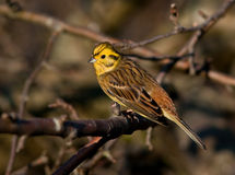 Yellowhammer Royalty Free Stock Photo