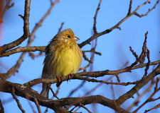 Yellowhammer Photographie stock
