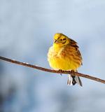 Yellowhammer Stock Afbeelding