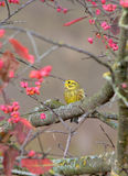 Yellowhammer Stock Photo