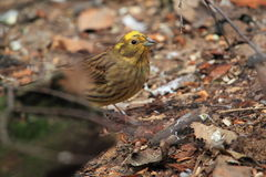 Yellowhammer Lizenzfreie Stockfotos