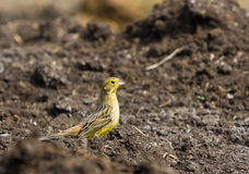 Yellowhammer Fotografia de Stock Royalty Free