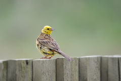 Yellowhammer Royalty Free Stock Images