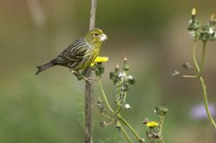 Yellowhammer Arkivbilder