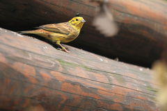 Yellowhammer Royaltyfri Bild
