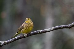 Yellowhammer Photos libres de droits