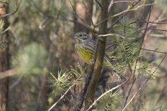 Yellowhammer. Sits on branch on the Kemper heide, Netherlands Royalty Free Stock Photos