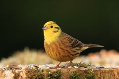 Yellowhammer Fotografie Stock
