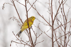 yellowhammer Obrazy Royalty Free