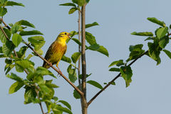 yellowhammer Royaltyfri Foto