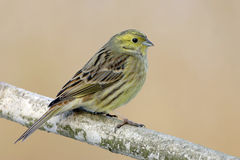 Yellowhammer Stock Afbeeldingen