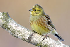 Yellowhammer Stockfotos