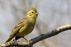 Yellowhammer Royalty Free Stock Image