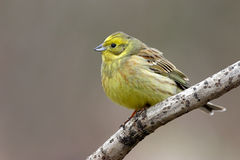 Yellowhammer Imagem de Stock Royalty Free