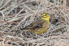 Yellowhammer Emberiza cintrinella male sitting in the grass Royalty Free Stock Photo