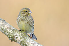 Yellowhammer bird  Royalty Free Stock Photography