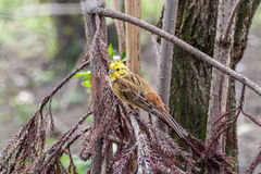 Yellowhammer Stock Images