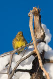Yellowhammer bird in Snow. Fluffy yellowhammer bird against a blue sky in the winter snow Stock Photography
