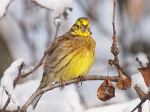 Yellowhammer on branch Stock Images
