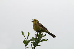 Yellowhammer on branch Royalty Free Stock Photo
