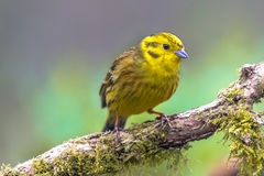 Yellowhammer on branch Royalty Free Stock Images